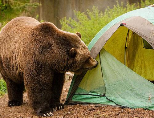 Ce trebuie să știm despre urși? (1)