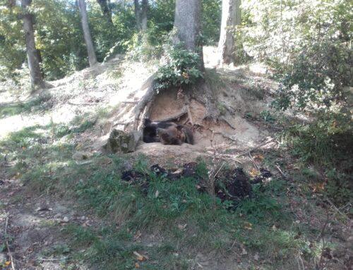 Hibernarea ursului. Adevăr sau mit?