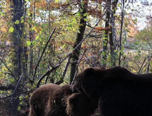 Timka și Alisa sunt în pădurea urșilor fericiți- AMP Libearty!