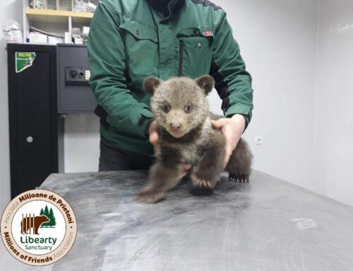 Micuțele ursulice orfane cresc!